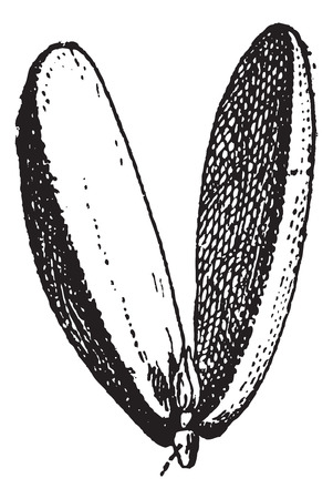 Old engraved illustration of radicle of almond isolated on a white background. Dictionary of words and things - Larive and Fleury ? 1895
