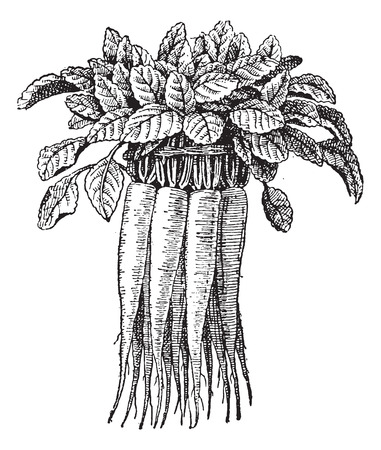 bellflower: Old engraved illustration of Campanula rapunculus or Rampion Bellflower or Rampion or Rover Bellflower or Campanula lusitanica or Campanula verruculosa or Campanula elatior isolated on a white background. Dictionary of words and things - Larive and Fleury Illustration