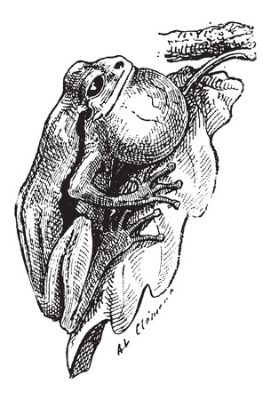 anura: Frog, attached to a tree leaf, vintage engraved illustration. Dictionary of Words and Things - Larive and Fleury - 1895 Illustration