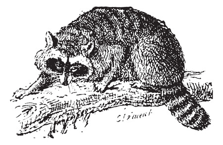 omnivorous: Raccoon or Common Raccoon or North American raccoon or Northern Raccoon, vintage engraved illustration. Dictionary of words and things - Larive and Fleury - 1895.
