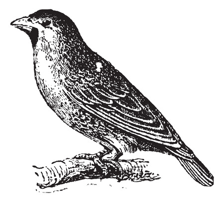 sociable: Sociable Weaver or Social Weaver (Philetairus socius) perching on branch, vintage engraved illustration. Dictionary of words and things - Larive and Fleury - 1895.