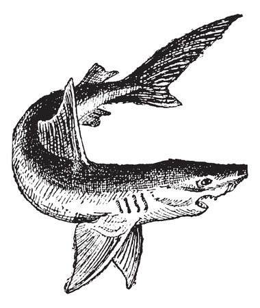 etymology: Shark isolated on white, vintage engraved illustration. Dictionary of words and things - Larive and Fleury - 1895. Illustration
