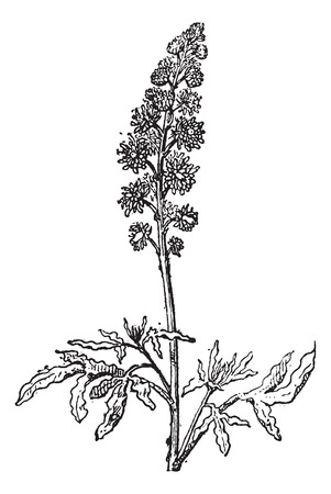 botanical drawing: Reseda or Mignonette, vintage engraved illustration. Dictionary of words and things - Larive and Fleury - 1895.