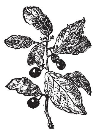 Rhamnus 또는 Buckthorns, 빈티지 새겨진 된 그림. 단어와 사물의 사전 - Larive and Fleury - 1895.
