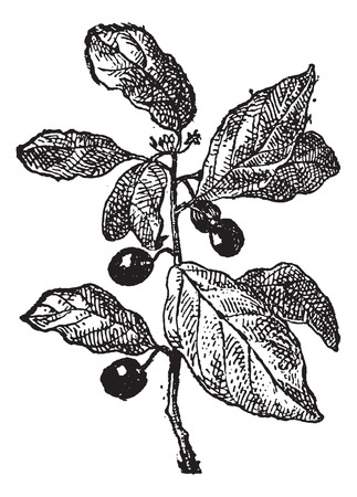 buckthorn: Rhamnus or Buckthorns, vintage engraved illustration. Dictionary of words and things - Larive and Fleury - 1895. Illustration
