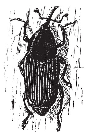 weevil: Rhynchophorus ferrugineus or Red palm weevil or Asian palm weevil or Sago palm weevil, vintage engraved illustration. Dictionary of words and things - Larive and Fleury - 1895.