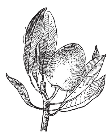 fruit stem: Old engraved illustration of Sapote fruit hanging on the stem with leaves around. Dictionary of words and things - Larive and Fleury ? 1895 Illustration