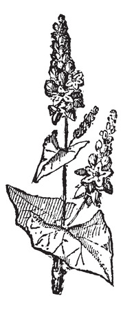 Old engraved illustration of Buckwheat or Fagopyrum esculentum or Common Buckwheat isolated on a white background. Dictionary of words and things - Larive and Fleury ? 1895 Ilustração