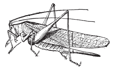 Old engraved illustration of Grasshopper isolated on a white background. Dictionary of words and things - Larive and Fleury ? 1895 Vector