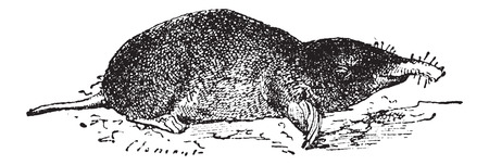 burrow: Common Mole or Eastern Mole or Scalopus aquaticus, vintage engraved illustration. Dictionary of Words and Things - Larive and Fleury - 1895