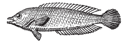 wrasse: Parrotfish or Scarus sp., vintage engraved illustration. Dictionary of Words and Things - Larive and Fleury - 1895