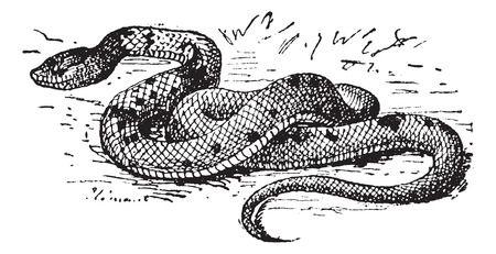 coral snake: Scytale crown, vintage engraved illustration. Dictionary of words and things - Larive and Fleury - 1895.