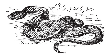 moccasin: Agkistrodon sp., vintage engraved illustration. Dictionary of Words and Things - Larive and Fleury - 1895