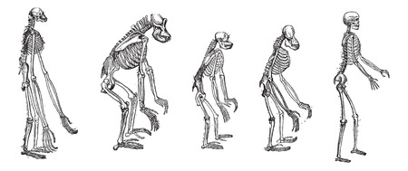 Old engraved illustration of the comparison of greatest apes skeleton with human skeleton.  The skeletons of Gibbon, Gorilla , Chimpanzee, Orangutan with skeleton of Human isolated on a white background. Dictionary of words and things - Larive and Fleury