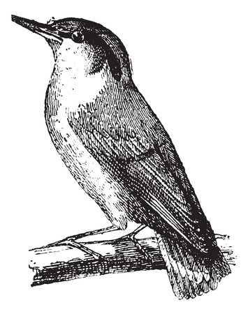 Old engraved illustration of Nuthatch or Sitta waiting on a branch.  Dictionary of words and things - Larive and Fleury - 1895 Иллюстрация