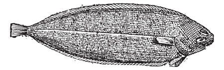 dover: Old engraved illustration of Common sole or Solea solea or Dover sole or Black sole isolated on a white background. Dictionary of words and things - Larive and Fleury ? 1895