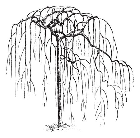 faboideae: Sophora Japonica or Japanese pagodatree (Styphnolobium japonicum),