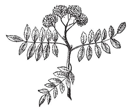 Rowans または山灰、ヴィンテージの図は刻まれました。辞書の単語との事 - Larive、フルーリ - 1895年。