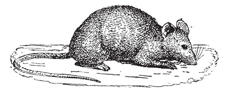 Mouse isolated on white background, vintage engraved illustration. Dictionary of words and things - Larive and Fleury - 1895.