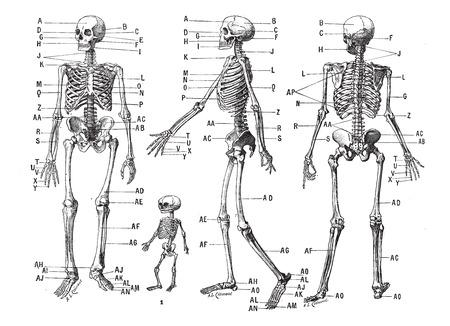Menselijk skelet, vintage gegraveerde illustratie. Woordenboek van woorden en dingen - Larive en Fleury - 1895. Stock Illustratie