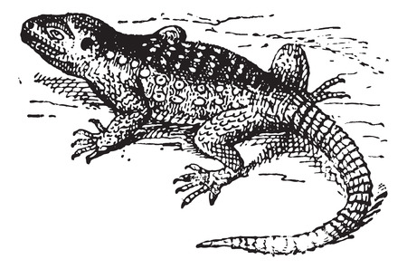 herpetology: Stellion (Laudakia stellio) or hardim or star lizard, vintage engraved illustration. Dictionary of words and things - Larive and Fleury - 1895.