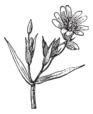 chickweed: Stellar, vintage engraved illustration. Dictionary of words and things - Larive and Fleury - 1895.