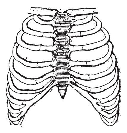 胸骨または胸骨、ヴィンテージには図が刻まれています。言葉・事・辞典 Larive ・ フルーリ - 1895。