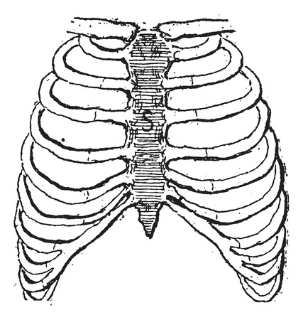 Sternum or Breastbone, vintage engraved illustration. Dictionary of words and things - Larive and Fleury - 1895.