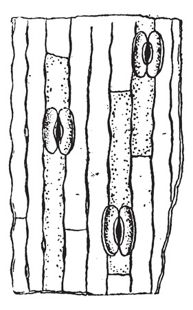 plant cell: Stomata or Stoma or Stomate, vintage engraved illustration. Dictionary of words and things - Larive and Fleury - 1895.