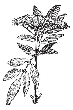 elder: Elderberry or Sambucus, vintage engraved illustration. Dictionary of words and things - Larive and Fleury - 1895.