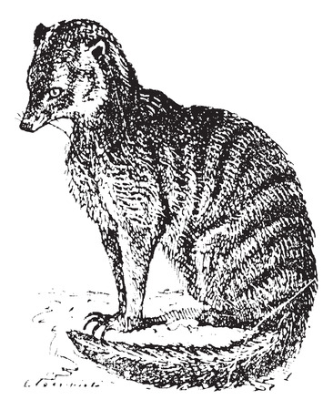 mongoose: Meerkat or Suricate or Suricata suricatta, vintage engraved illustration. Dictionary of words and things - Larive and Fleury - 1895. Illustration