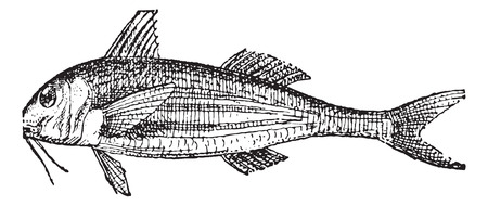 goatfish: Mullets or Grey mullets, vintage engraved illustration. Dictionary of words and things - Larive and Fleury - 1895. Illustration