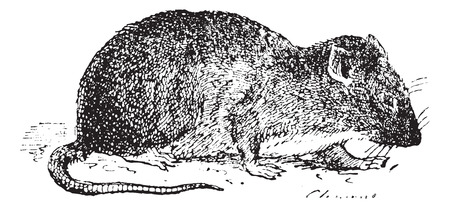 norvegicus: Brown rat or Common rat, Sewer rat or Hanover rat or Norway rat or Norwegian rat or wharf rat (Rattus norvegicus), vintage engraved illustration. Dictionary of words and things - Larive and Fleury - 1895. Illustration