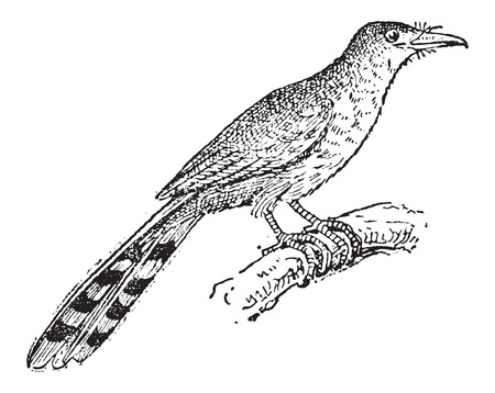 Hispaniolan Lizard Cuckoo or Coccyzus longirostris, vintage engraved illustration. Dictionary of Words and Things - Larive and Fleury - 1895