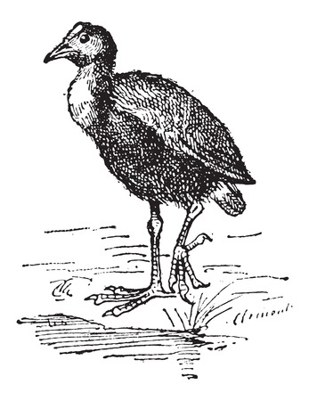 gruiformes: Moorhen or Gallinula sp., vintage engraved illustration. Dictionary of Words and Things - Larive and Fleury - 1895