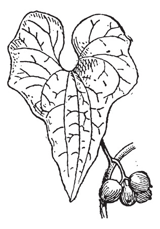 Old engraved illustration of Tamus communis or Dioscorea communis or Black Bryony isolated on a white background. Dictionary of words and things - Larive and Fleury - 1895 Vector