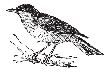 passerine: Black-and-yellow Tanager or Chrysothlypis chrysomelas, vintage engraved illustration. Dictionary of Words and Things - Larive and Fleury - 1895