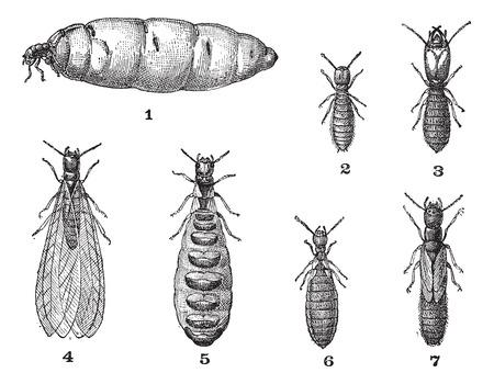 Las termitas, cosecha ilustración grabada. Diccionario de palabras y las cosas - Larive y Fleury - 1895. Foto de archivo - 35185411