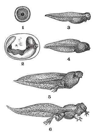 larval: Frog tadpoles, vintage engraved illustration. Dictionary of words and things - Larive and Fleury - 1895.
