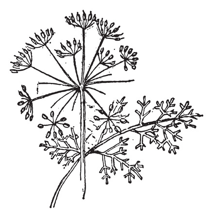 Thapsia plant, vintage engraved illustration. Dictionary of words and things - Larive and Fleury - 1895.
