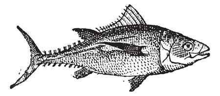 thunnus: Tuna fish on white background, vintage engraved illustration. Dictionary of words and things - Larive and Fleury - 1895. Illustration