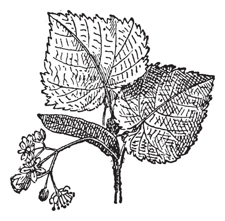 linden: Linden or baswood or lime or tilia, vintage engraved illustration. Leaf and flowers of linden. Dictionary of words and things - Larive and Fleury - 1895.