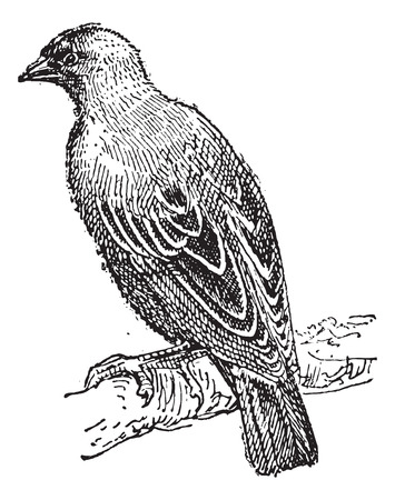 perching: Weaver oriole perching on branch,  vintage engraved illustration. Dictionary of words and things - Larive and Fleury - 1895.