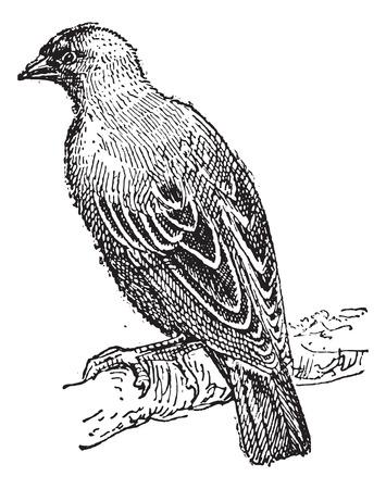 rúdon ülés: Weaver sárgarigó rúdon ülés, elágazik, szüret, bevésett, Ábra. Szótár a szavak és a dolgok - Larive és Fleury - 1895.