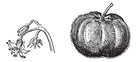 Tomato, flower and fruit, vintage engraved illustration. Dictionary of words and things - Larive and Fleury - 1895. Ilustracja