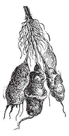 jeruzalem: Aardpeer (Helianthus tuberosus) of sunroot of sunchoke of aarde appel of aardpeer, vintage gegraveerde illustratie. Woordenboek van woorden en dingen - Larive en Fleury - 1895.
