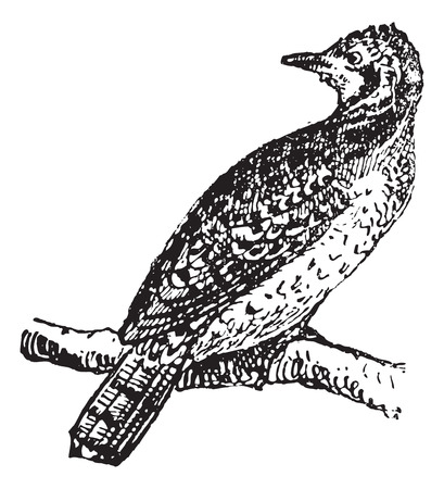 perching: Wryneck perching on branch, vintage engraved illustration. Dictionary of words and things - Larive and Fleury - 1895.