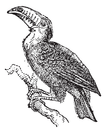 perching: Toucan perching on branch, vintage engraved illustration. Dictionary of words and things - Larive and Fleury - 1895. Illustration