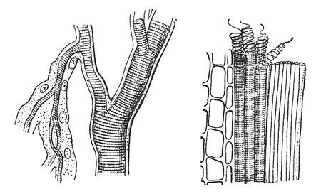 Trachée insectes et de plantes trachées, illustration vintage gravé. Dictionnaire des mots et des choses - Larive et Fleury - 1895.