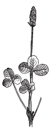 trefoil: Clover (Trifolium) or trefoil, vintage engraved illustration. Dictionary of words and things - Larive and Fleury - 1895.